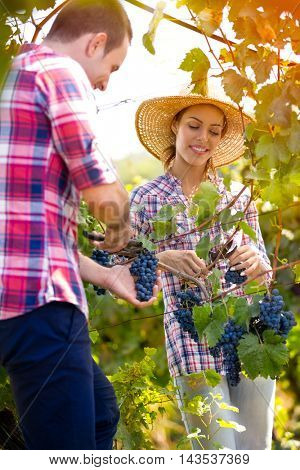 cheerful  couple in a vineyard at harvest time