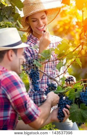 Smiling woman eating grape while man picking grapes,  together working in vineyard