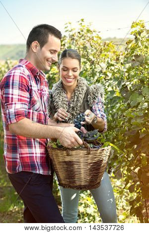 Couple of farmers harvesting grapes in a vineyard