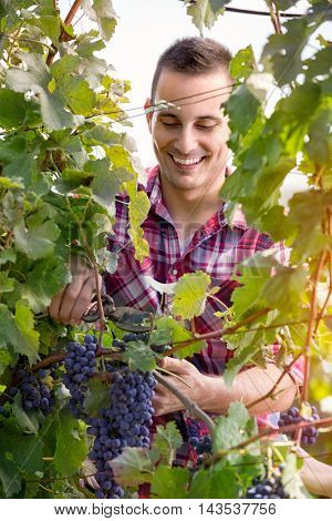 farmer  vine grower picking grapes