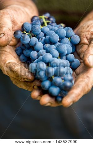Hands holding a bunch of grapes, close up