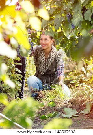 Young woman working in vineyard at harvest time