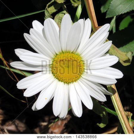 White daisy flower in Humber Bay Park on bank of the Lake Ontario in Toronto Canada July 4 2016