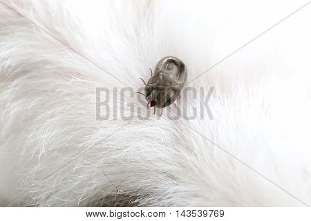 Big Ticks on a dog in cleaninginsects crawling of disease in pets.