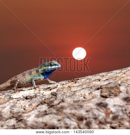 Chameleon on the trunk timber and sunset background for concept of animal nature.