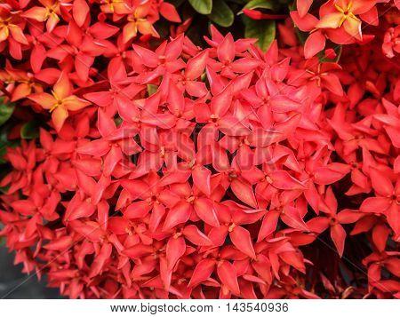 Red Flowers Bush Izora Coccinea Nature Background