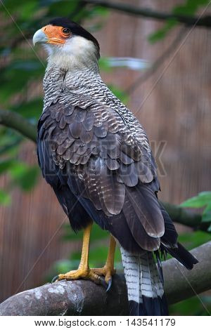 Northern crested caracara (Caracara cheriway). Wildlife animal.