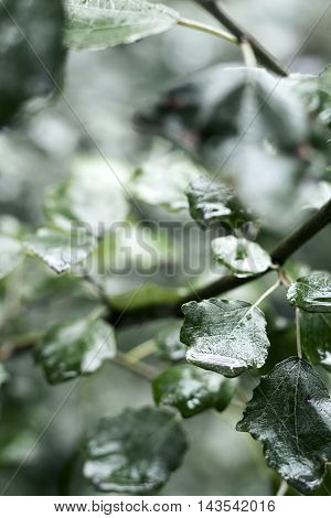 Wet tree leaves after rain in calm tones, vertical