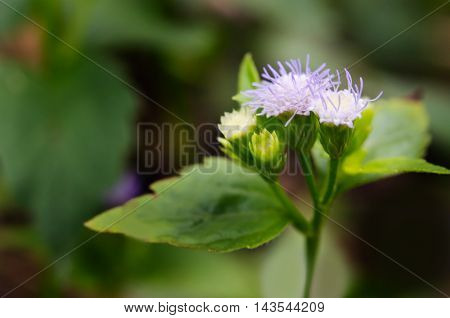 Little Ironweed Flower Or Ash Coloured Fleabane Or Ash Coloured Ironweed