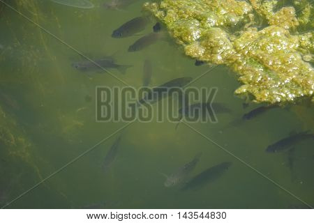 A school of bluegill fish (Lepomis macrochirus) swims together in the shelter of algae in a small lake in Joliet, Illinois during April.