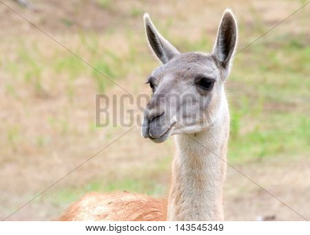 portrait of a llama with brown and some green grass in background