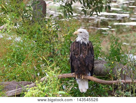 American bald eagle perched on a branch near the ground looking to viewers left light reflecting off water in the background.