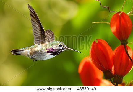 Hummingbird in flight with tropical flower on green background