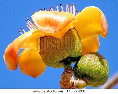 Flower and Bud of Bombax ceiba tree in Or Yehuda Israel