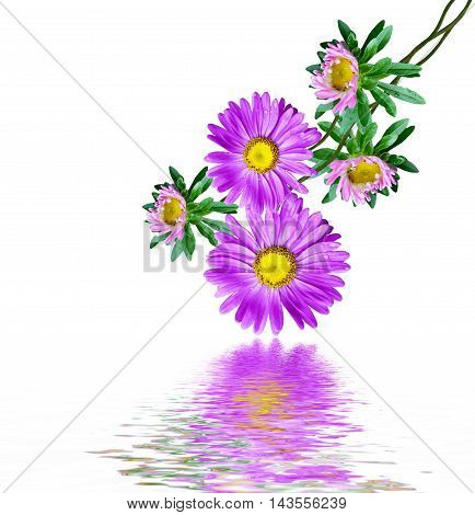 Michaelmas daisy isolated on white background. colorful flowers. aster
