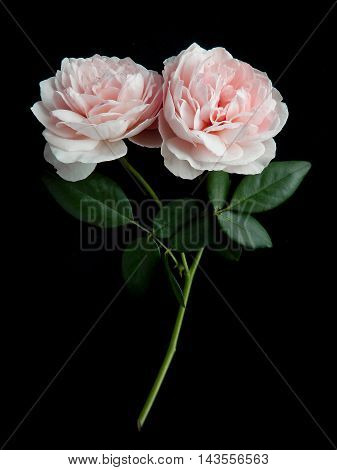 Pink rose petals isolated on black background