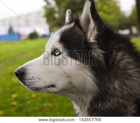 husky dog outside on a leash walking, green grass in park spring