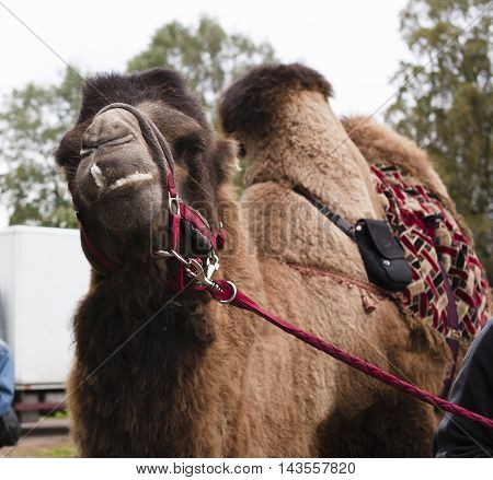 poor tired circus camel during transportation to diverse zoo close up