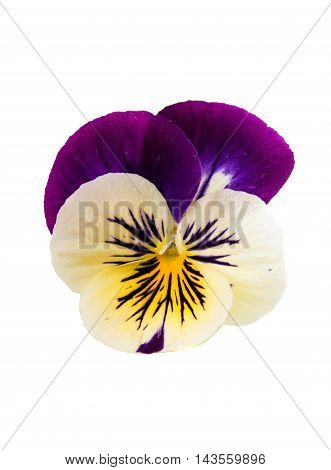 pansy multi colored flowers on a white background