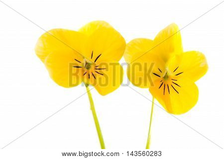 pansy yellow flowers on a white background
