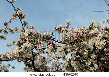 Fresh white cherry blossom against a bright blue sky and spring