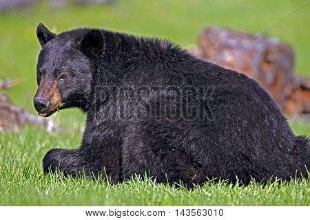 Big male Black Bear laying in spring meadow