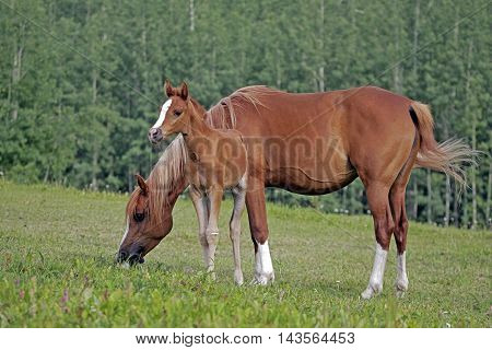 Chestnut Arabian Mare and Foal together in meadow