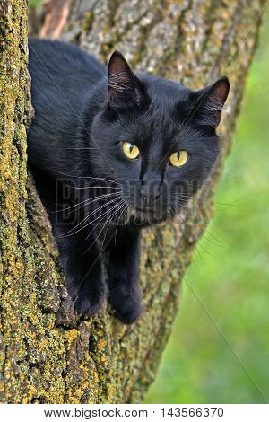 Black Cat with yellow eyes sitting in tree close up
