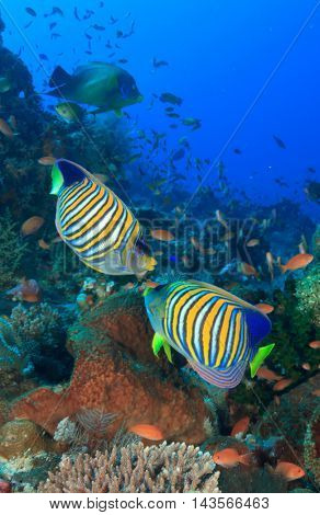 Tropical fish regal angelfish coral reef