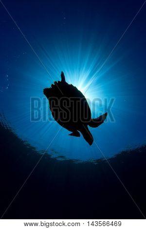 Sea Turtle silhouette and sun