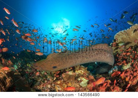 Giant Moray Eel and fish oin coral reef in Komodo, Indonesia