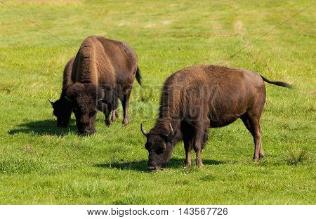American Bison (bison Bison) Simply Buffalo
