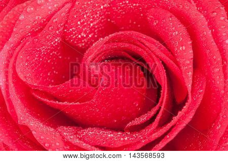 Red rose and water drops