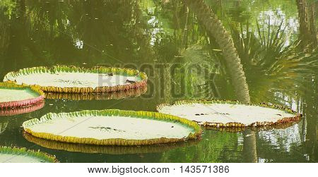Lily pads in a pond in the Acharya Jagadish Chandra Bose Indian Botanic Garden