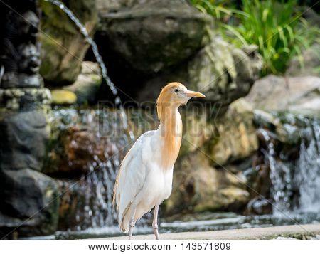 Cute Cattle egret walking in the park