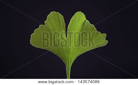 Green gingko biloba leaf on black background