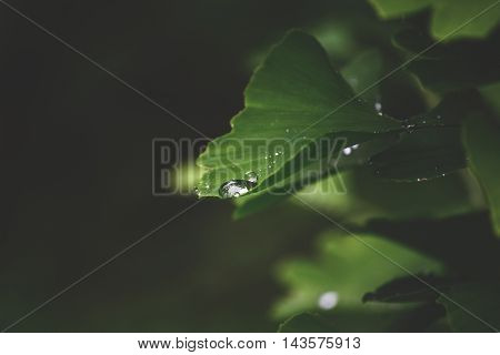Leaves of the Ginkgo tree with water drops