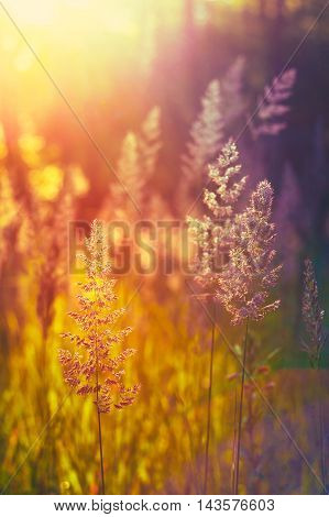 Dry Grass in Sunlight and Bokeh, Boke Background. Later Summer Or Early Autumn Season. Toned Instant Filtered Moody Photo In Warm And Cold Colors - Yellow And Purple, Magenta.