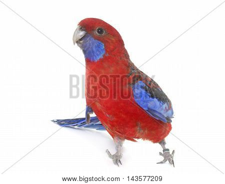 Crimson rosella in front of white background