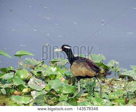Bronze-winged jacana at Santragachhi Railway Jheel, West Bengal, India.