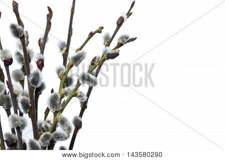 Pussy Willow Twigs Isolated On White Background