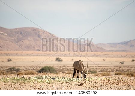 Oryx In Desert Eating Melons
