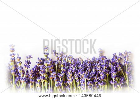 Row of wild mountain lavender flowers on white background with copy space