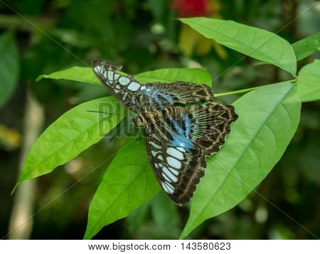 The Blue Clipper Butterfly. Parthenos Sylvia Violacae on the grass in Malaysia.
