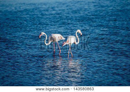 Flamingos In The Ocean