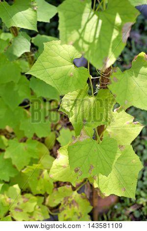 leaf of the luffa nature Luffa cylindrica