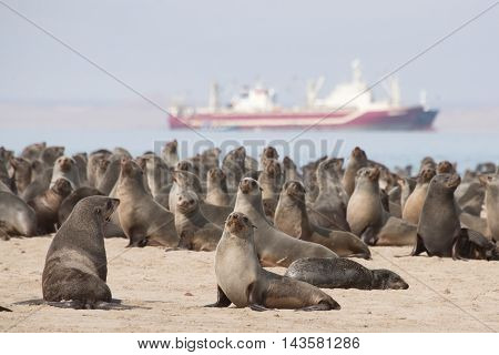 Seals By Pelican Point In Walvis Bay