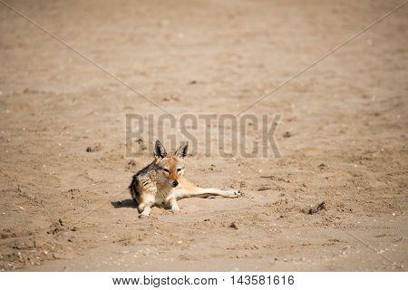 Black Back Jackal On Sand