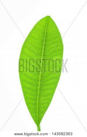 The leaf of plumeria or frangipani isolated