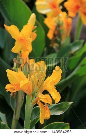 Beautiful yellow flowers in late Summer garden.